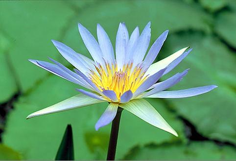 Floral Nenúfar Azul Florais Filhas de Gaia