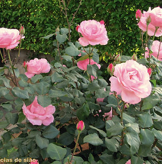 Floral Rosa Rosa Filhas de Gaia
