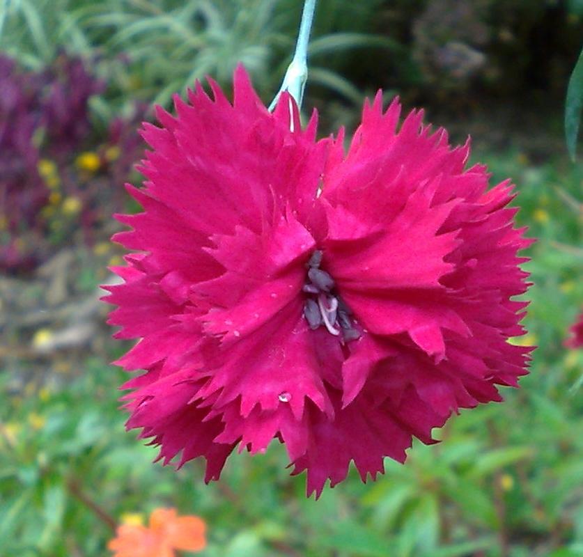 Floral Cravo Carmin Florais Filhas de Gaia