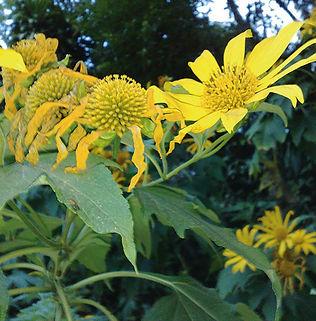 Floral Margaridão Amarelo Filhas de Gaia