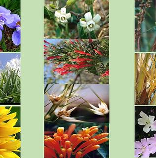 Composto Floral Vagalume