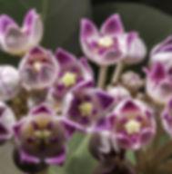 Floral Algodão de Seda Filhas de Gaia