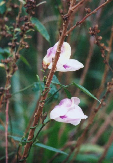 Floral Ervilha Lilás Florais Filhas de Gaia