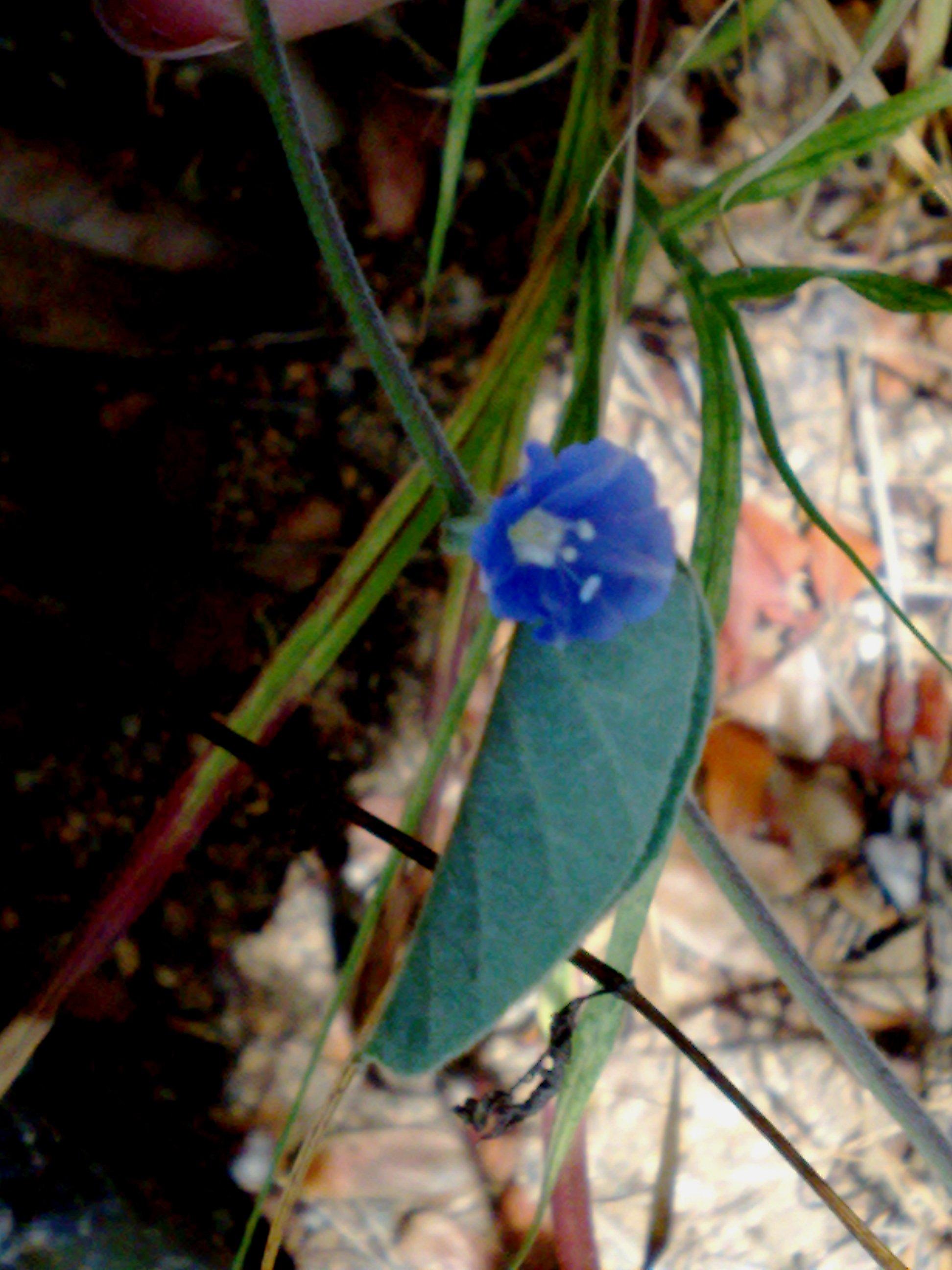 Floral Gitirana Florais Filhas de Gaia