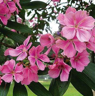 Floral Quaresmeira Rosa Filhas de Gaia
