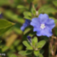 Floral Azulzinha Filhas de Gaia