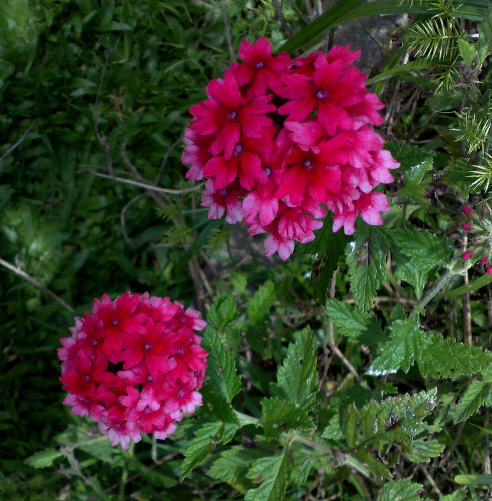 Floral Verbena Florais Filhas de Gaia