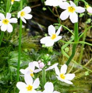Floral de Bach Water violet
