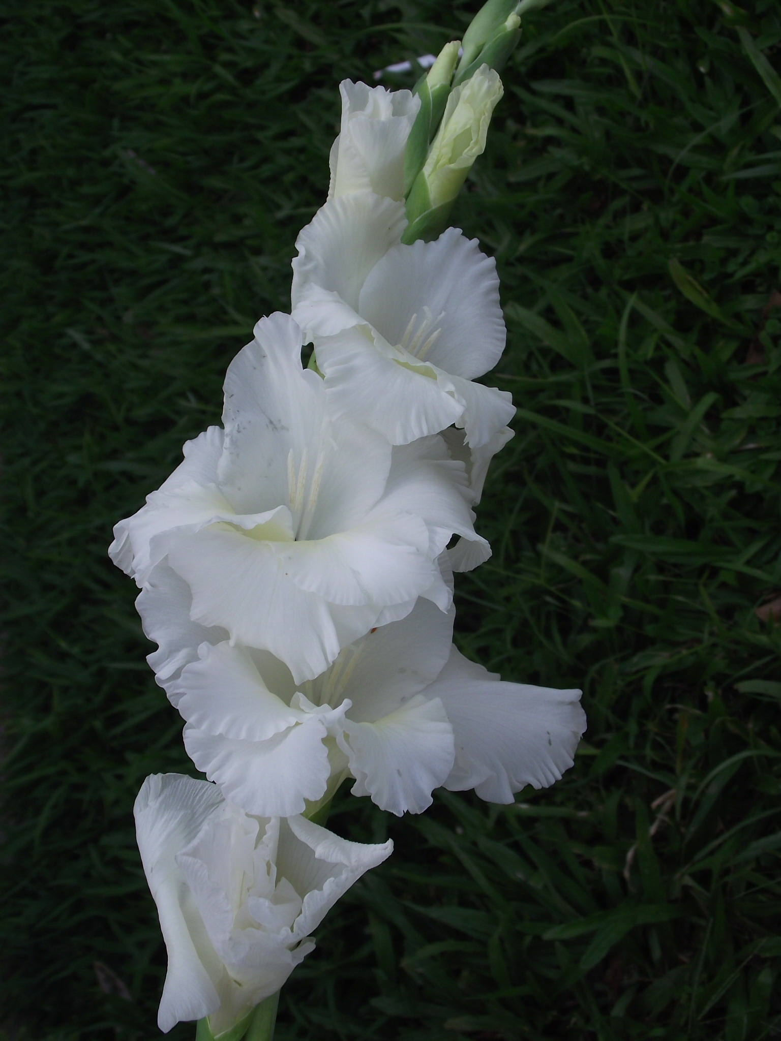 Floral Palma Branca Florais Filhas de Gaia