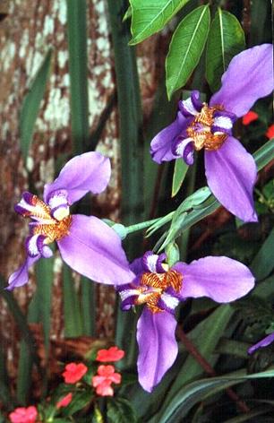 Floral Íris Florais Filhas de Gaia