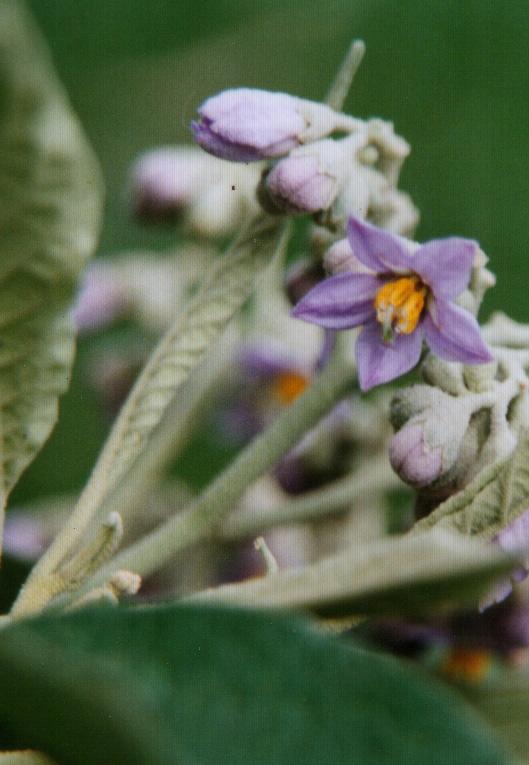 Floral Lobeira Lilás Florais Filhas de Gaia