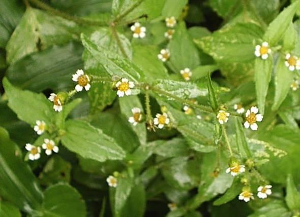 Floral Botão Branco Florais Filhas de Gaia