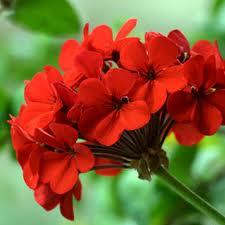 Floral Gerânio Florais Filhas de Gaia