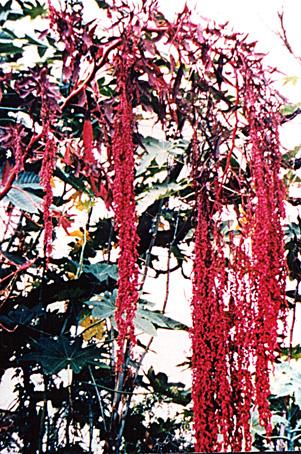 Floral Pluma Japonesa Florais Filhas de Gaia