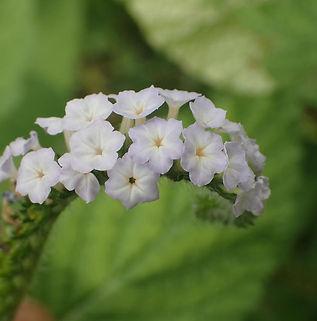 Floral Naja Filhas de Gaia