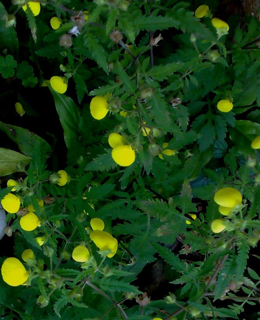 Floral Gota de Ouro Florais Filhas de Gaia