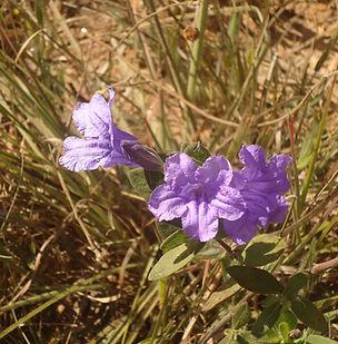 Floral Câmpanula Lilás Filhas de Gaia