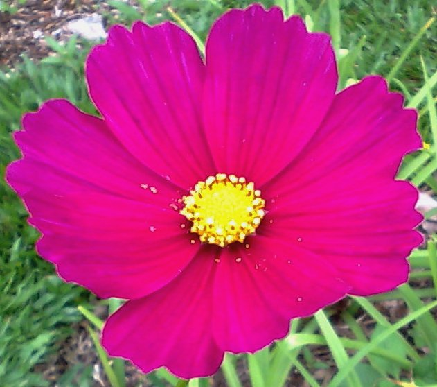 Floral Cosmos Magenta Florais Filhas de Gaia