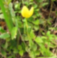 Floral Cálice de Ouro Filhas de Gaia