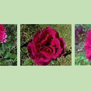 Composto Floral O Cravo e a Rosa