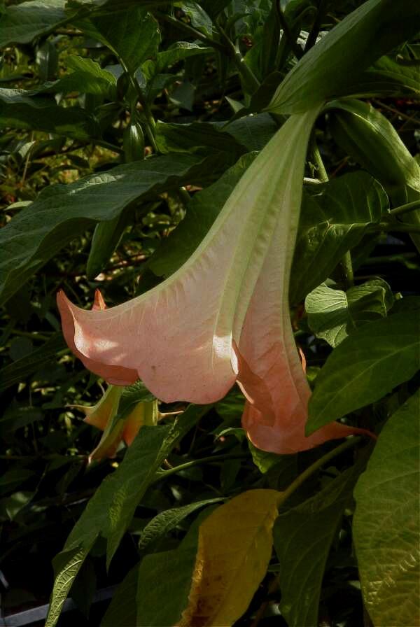 Floral Trombeta de Anjo Rosa Florais Filhas de Gaia