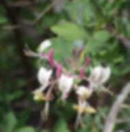 Floral Madressilva Filhas de Gaia