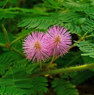 Floral Sensitiva Filhas de Gaia