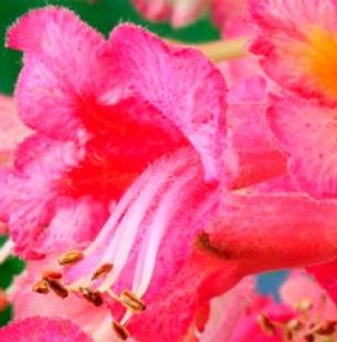 Floral de Bach Red Chestnut