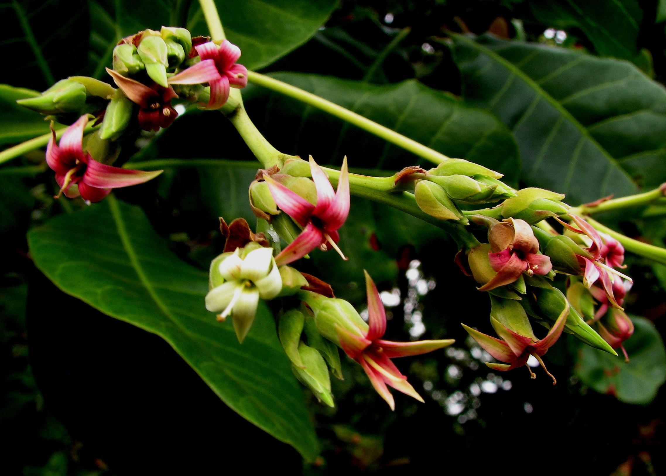 Floral Cajú Florais Filhas de Gaia