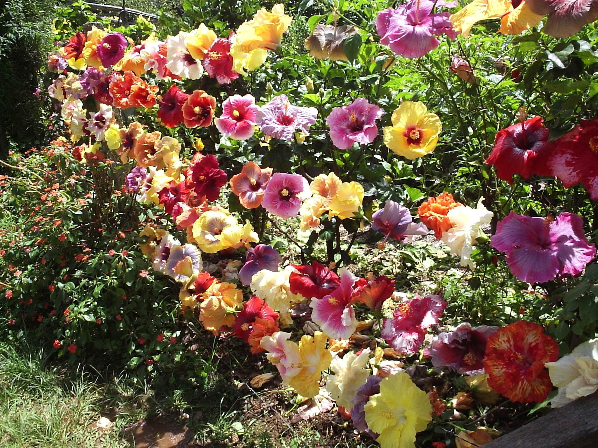 Floral Circulo de Hibiscos Florais Filhas de Gaia