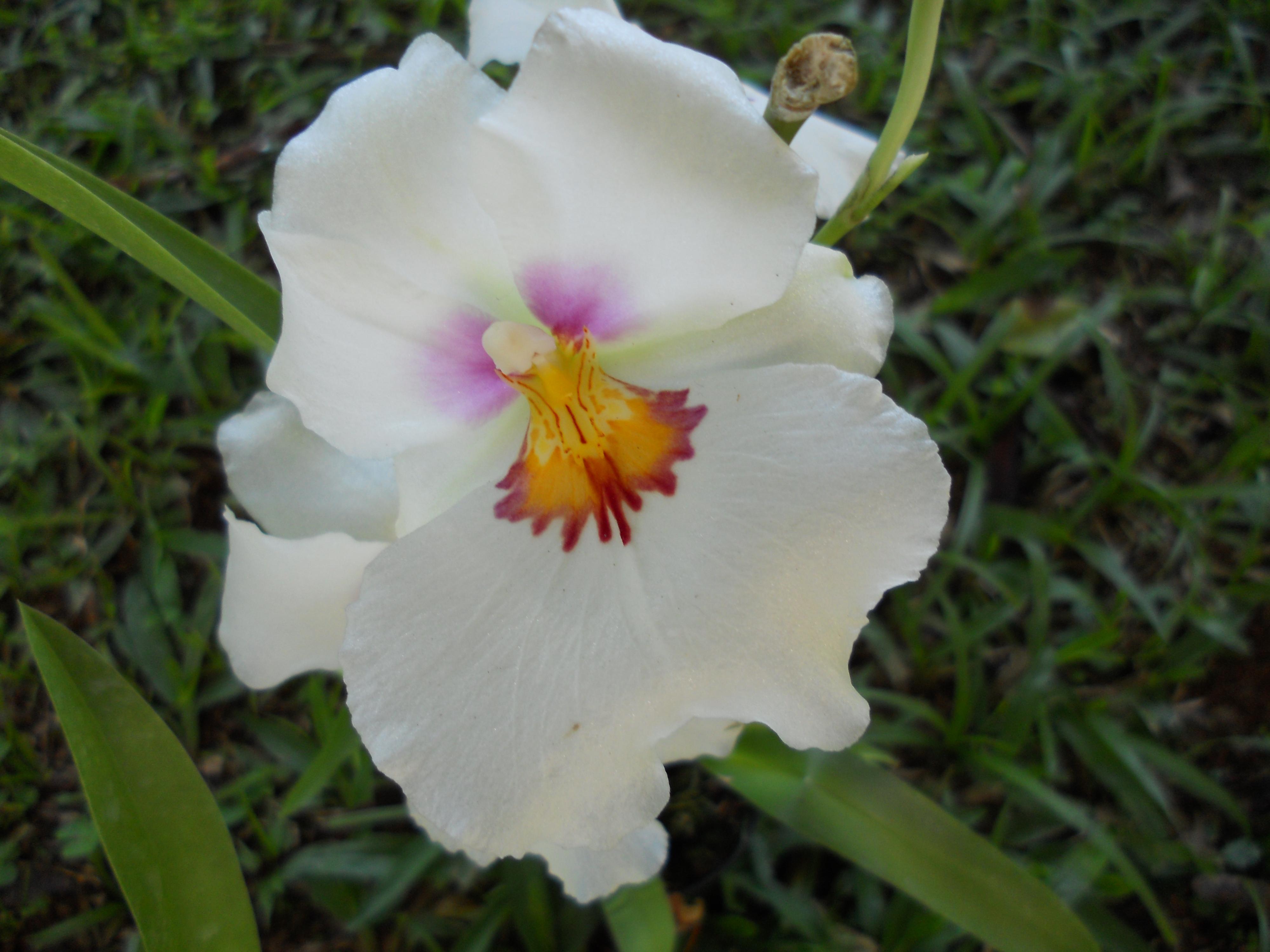 Floral Miltoniopsis Florais Filhas de Gaia
