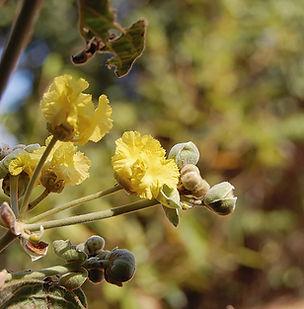 Floral Douradinha do Campo Filhas de Gaia