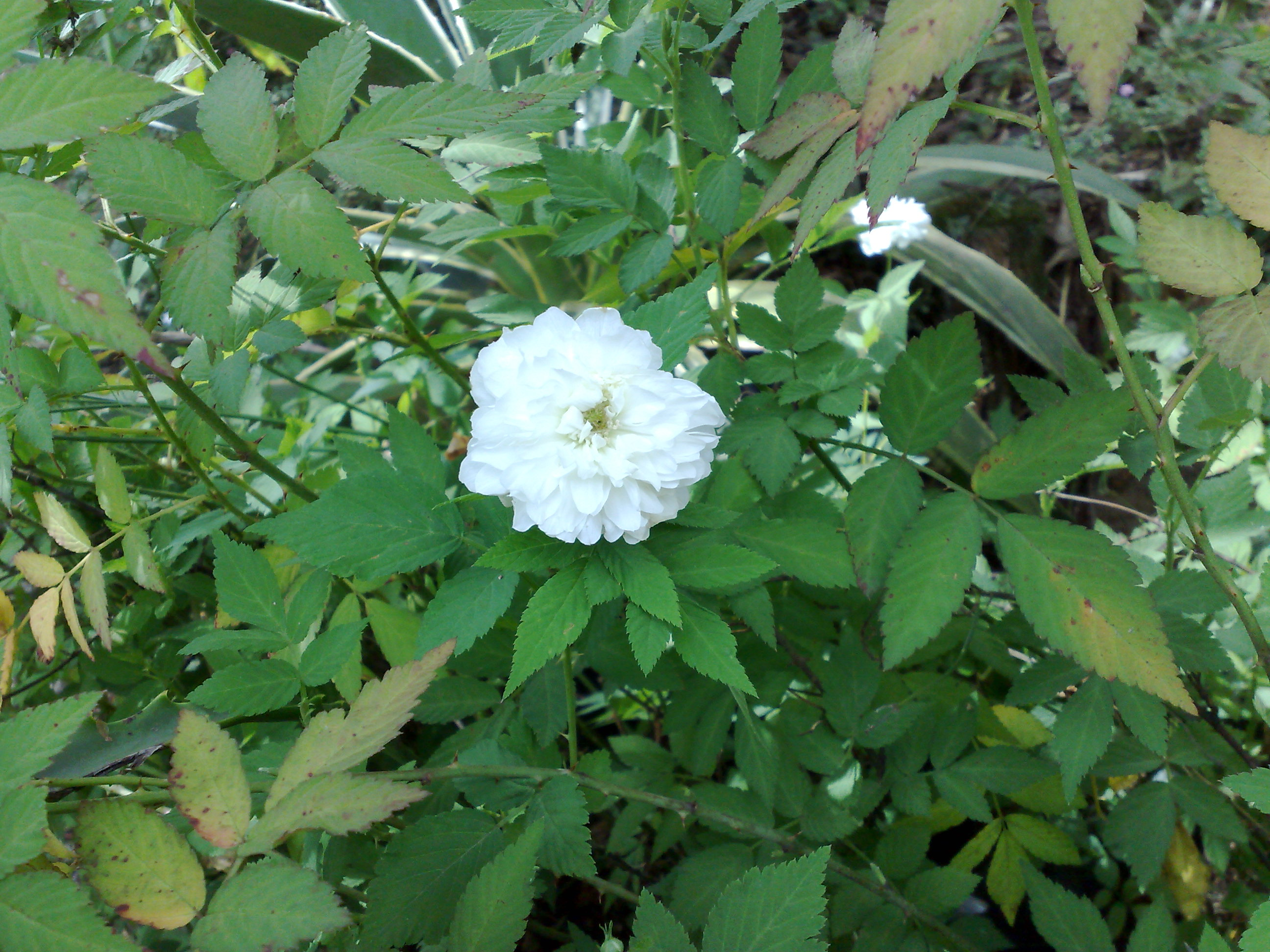 Floral Rosinha Branca Florais Filhas de Gaia