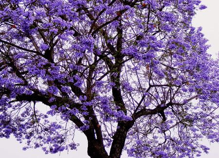 Floral Jacaranda Florais Filhas de Gaia