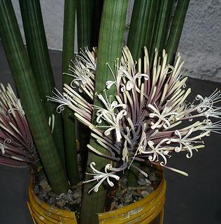 Floral Lança de Ogum Filhas de Gaia