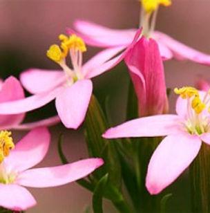 Floral de Bach Centaury