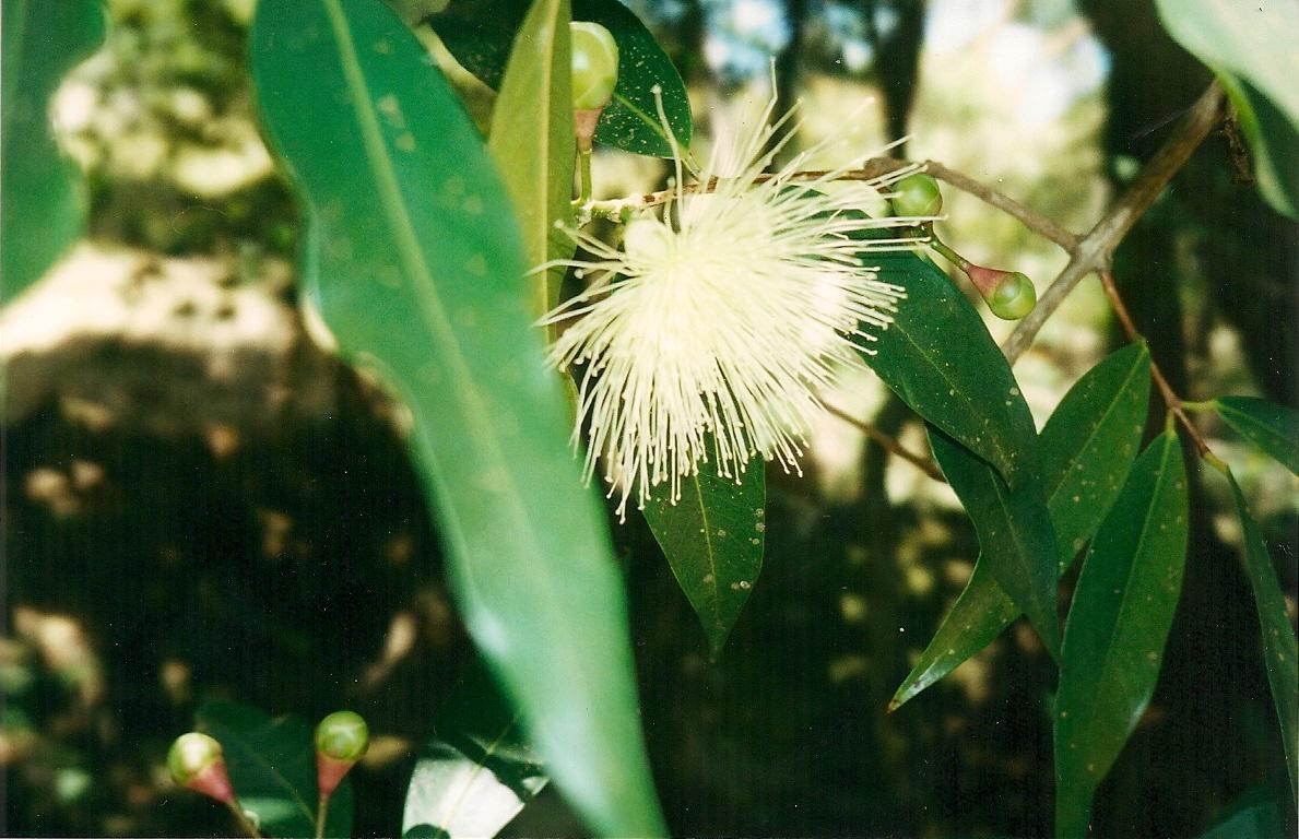Floral Jambo Florais Filhas de Gaia