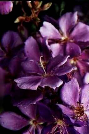Floral Quaresmeira Roxa Florais Filhas de Gaia