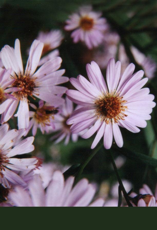Floral Aster Lilás Florais Filhas de Gaia