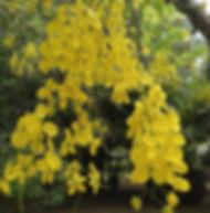 Floral Cássia Imperial Filhas de Gaia