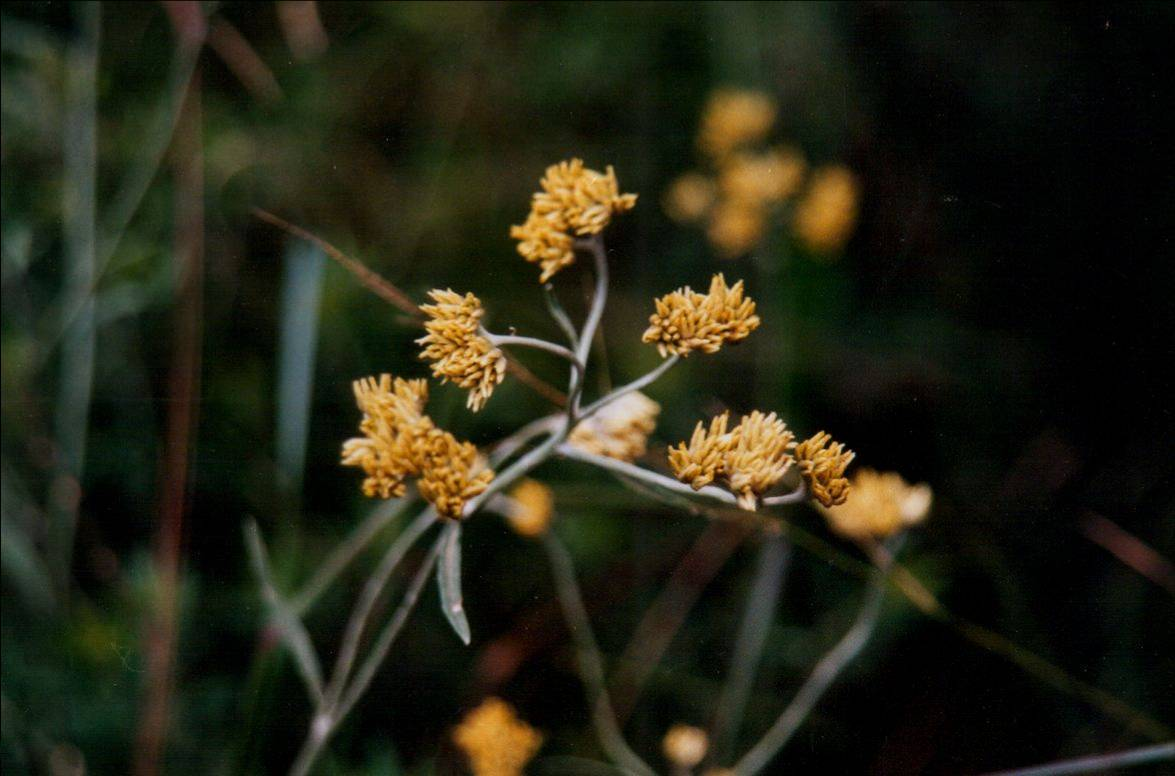 Floral Macelinha Florais Filhas de Gaia