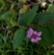 Floral Lantana Lilás Filhas de Gaia