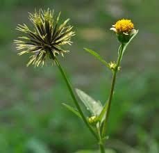 Floral Picão Florais Filhas de Gaia