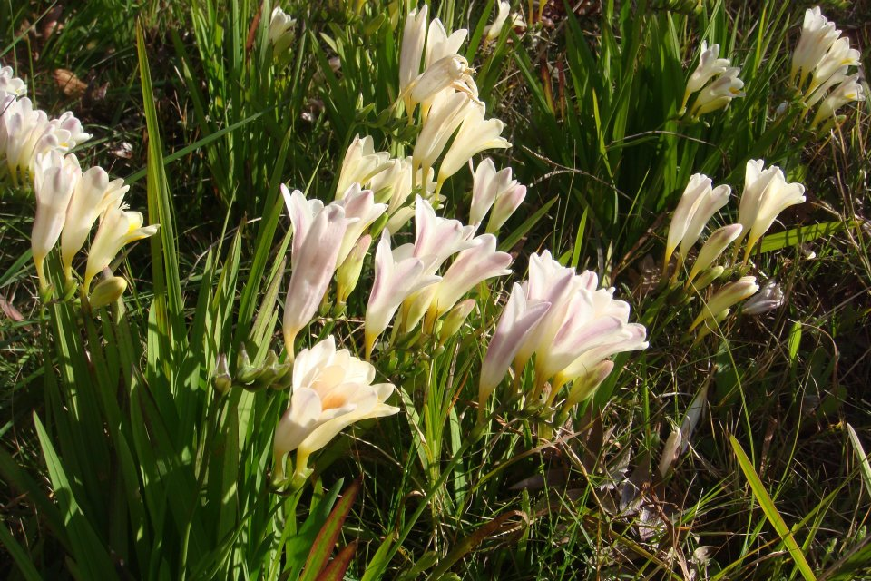 Floral Frésia Florais Filhas de Gaia