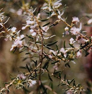 Floral Alecrim do Mato Filhas de Gaia