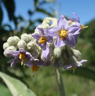 Floral Lobeira Lilás Filhas de Gaia