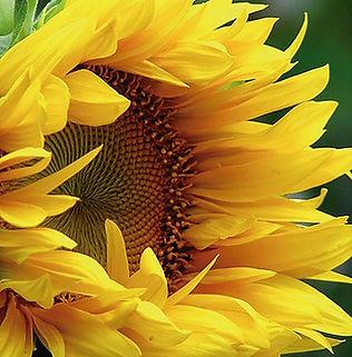 Floral Girassol Filhas de Gaia