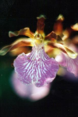 Floral Orquídea Violeta Florais Filhas de Gaia