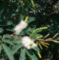 Floral Jurema Filhas de Gaia