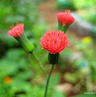 Floral Pincel de Estudante Filhas de Gaia